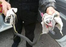 Serpente in auto mentre guidava, 72enne soccorsa dalla Polizia